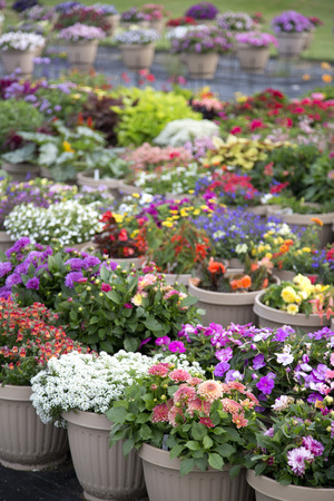 plant pots: Lots of plant pots with colourful flowers