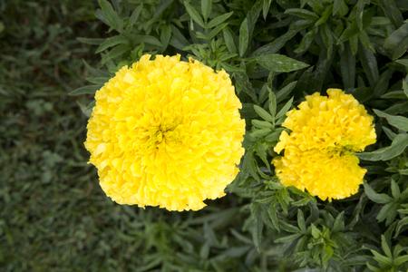 식물의 노란 꽃 - 메리 골드 - 독수리 옐로우