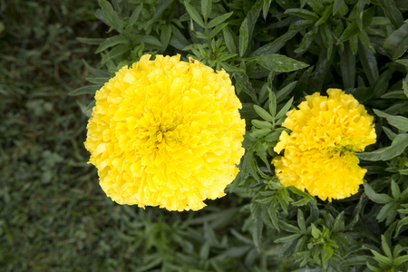 Yellow flowers of plant - Marigold - Eagle Yellow 版權商用圖片