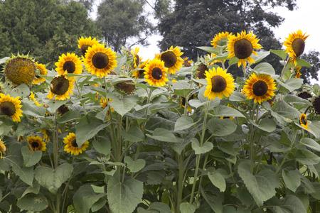 helianthus: Large yellow flowers of plant - Helianthus - Sunflower Stock Photo