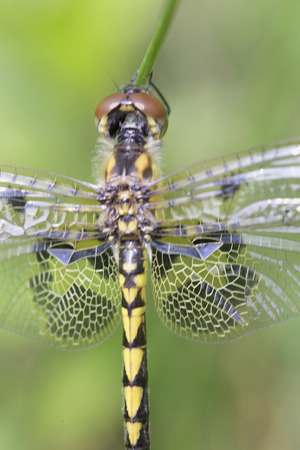 Yellow and black dragonfly on stalk - Calico Pennant