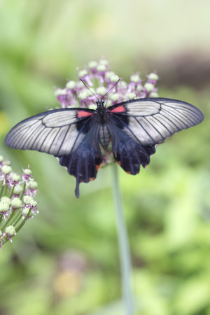 allium flower: Black white and red Asian Swallowtail butterfly on allium flower Stock Photo