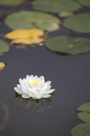 Witte waterlelie met reflectie en lilypads op donkere vijver