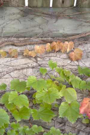 Autumn Leaves - Boston Ivy - Parthenocissus tricuspidata