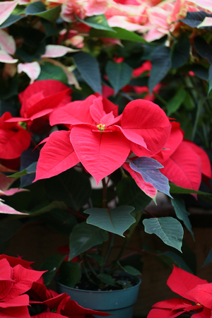 Poinsettia de Noël Banque d'images - 48543192