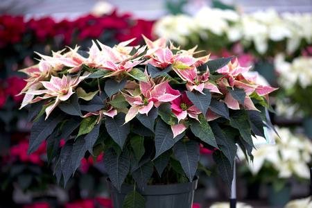 flor de pascua: Poinsettia de la Navidad
