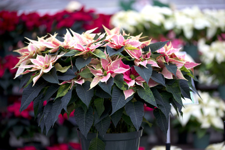 Poinsettia de Noël Banque d'images - 48543198