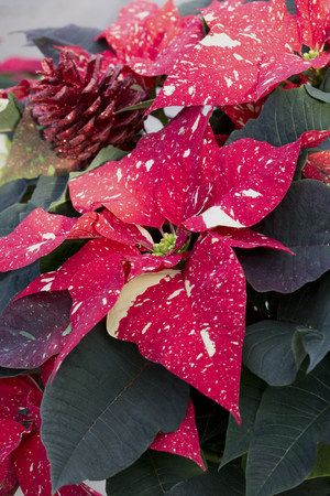 Red Pine Cone and Red Christmas Poinsettia