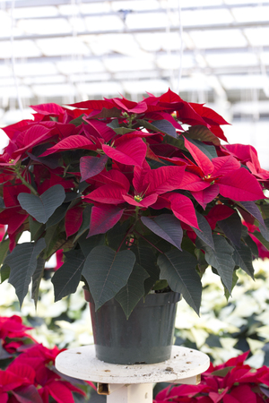 Red Christmas Poinsettia in Pot