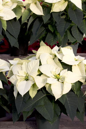 Cream Christmas Poinsettia