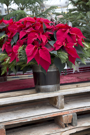 Red Christmas Poinsettia in Container Stockfoto