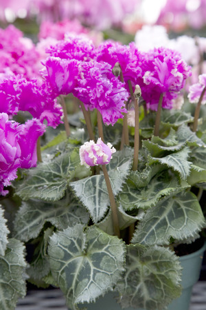 frilled: Pink Cyclamen