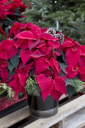 Poinsettia rouge de Noël dans des conteneurs Banque d'images - 50122249