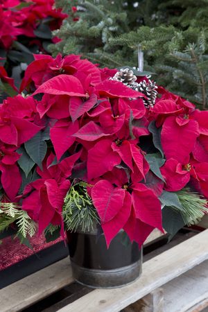 Red Christmas Poinsettia in Container Stock Photo