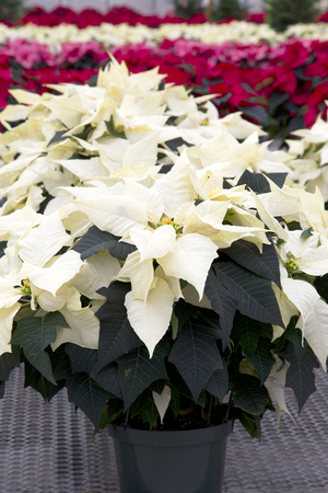 Cream Christmas Poinsettia