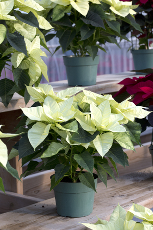 Cream Christmas Poinsettia in Pot Stock Photo