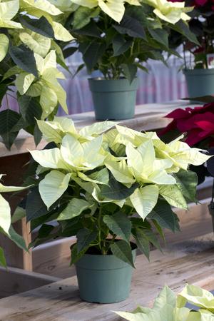 Cream Christmas Poinsettia in Pot Stockfoto