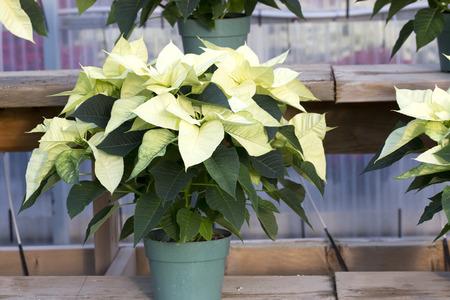 Crème Poinsettia Noël en Pot Banque d'images - 50122259
