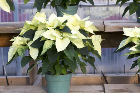 Cream Christmas Poinsettia in Pot Banco de Imagens