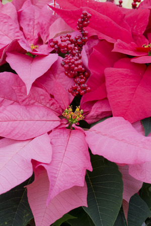 Red Berries and Red Christmas Poinsettia Stock Photo