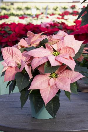 Pink Christmas Poinsettia in Pot Stockfoto