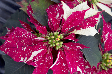 spotted: Spotted Christmas Poinsettia