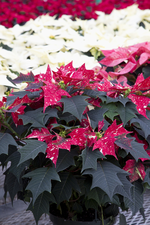 Spotted, Cream, and Red Christmas Poinsettia