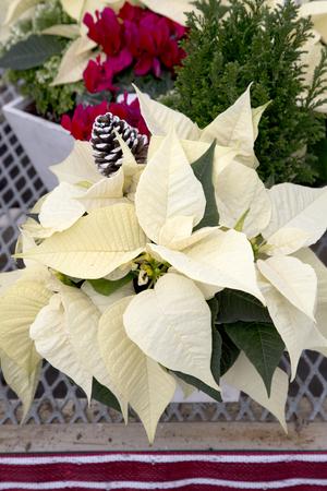 White Christmas Poinsettia Banque d'images - 50122434