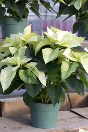 Cream Christmas Poinsettia in Pot Stock Photo