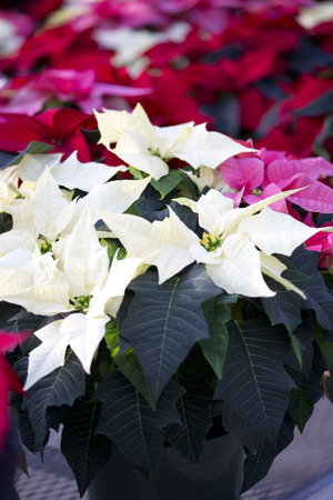 Pink and Cream Christmas Poinsettia in Pot