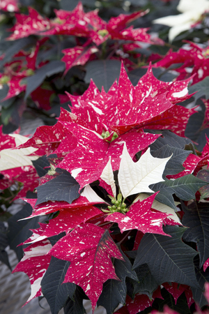 Spotted Christmas Poinsettia