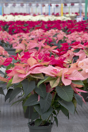 Masses of Red Christmas Poinsettia
