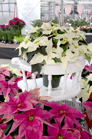 Christmas Poinsettia on White Chair Stock Photo