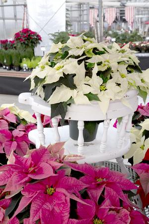 Christmas Poinsettia on White Chair Stockfoto