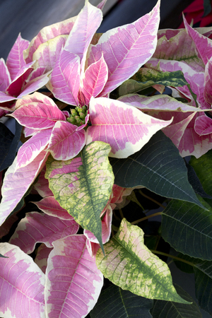 Pink and White Christmas Poinsettia