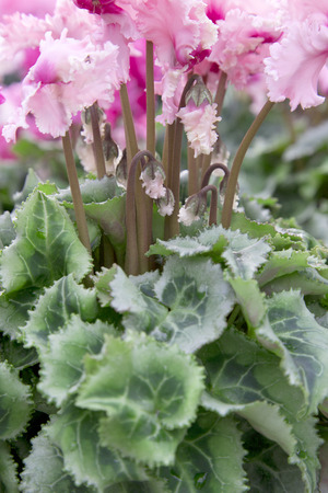 Frilly Pink Cyclamen Stock Photo