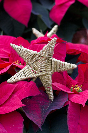 Gold Star and Red Christmas Poinsettia Stock Photo