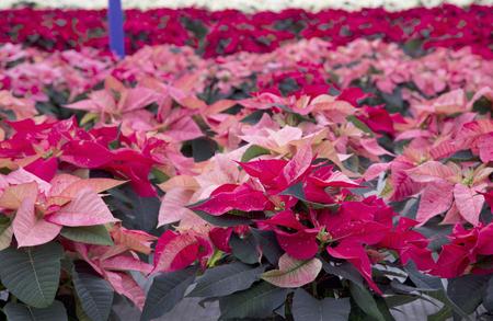 Messes de Poinsettia rouge de Noël Banque d'images - 50122582