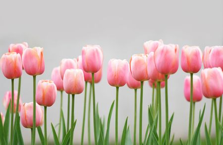 Lots of light pink tulips in a garden Stock Photo - 981921