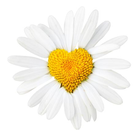 Daisy with heart in center isolated over white background photo