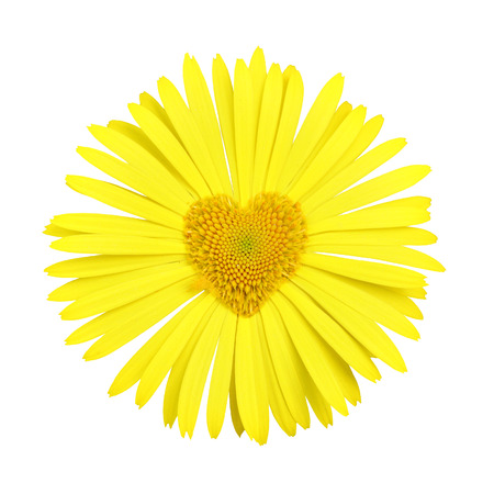 Yellow daisy with heart in center isolated over white background photo