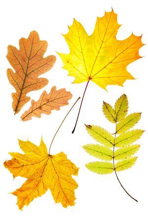 rowan: Dry autumn  leaves (oak, maple, rowan) isolated over whte background Stock Photo