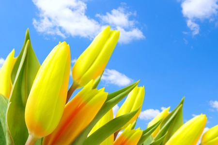 Tulips against blue sky with clouds photo