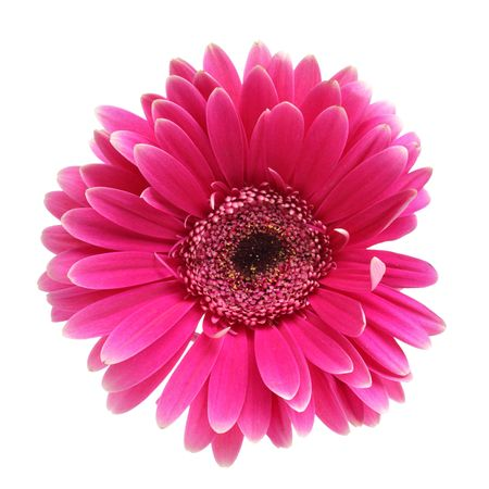 pink daisy: Pink daisy flower isolated over white background Stock Photo