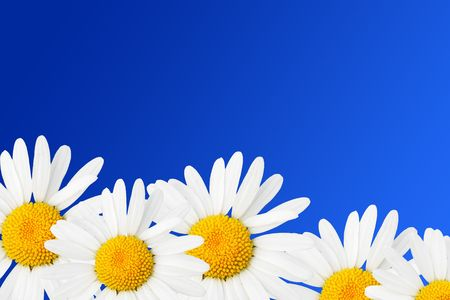 Daisies against sky blue background photo