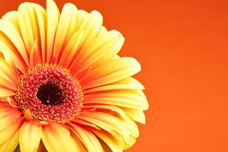 Gerber flower close up over red background Stock Photo - 4745540