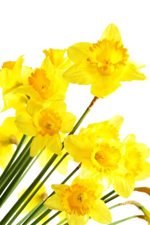 Yellow narcissus isolated over the white background Stock Photo - 4792459