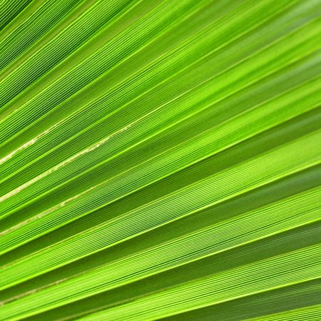 Palm leaf close up, may be used as background Stock Photo - 4948471