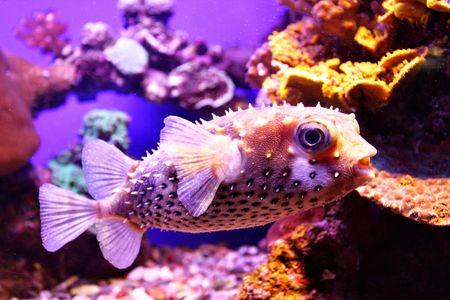 coral colony: Porcupine pesce close-up. Corallo Rosso colonia a mare.