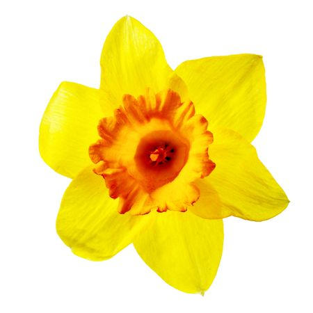 jonquil: Yellow narcissus isolated over the white background